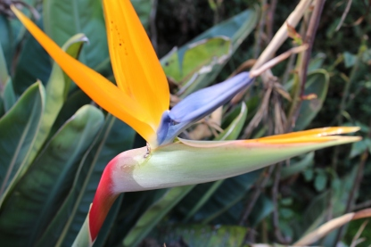 Bird of Paradise (in Elizabeth's yard, not the park)