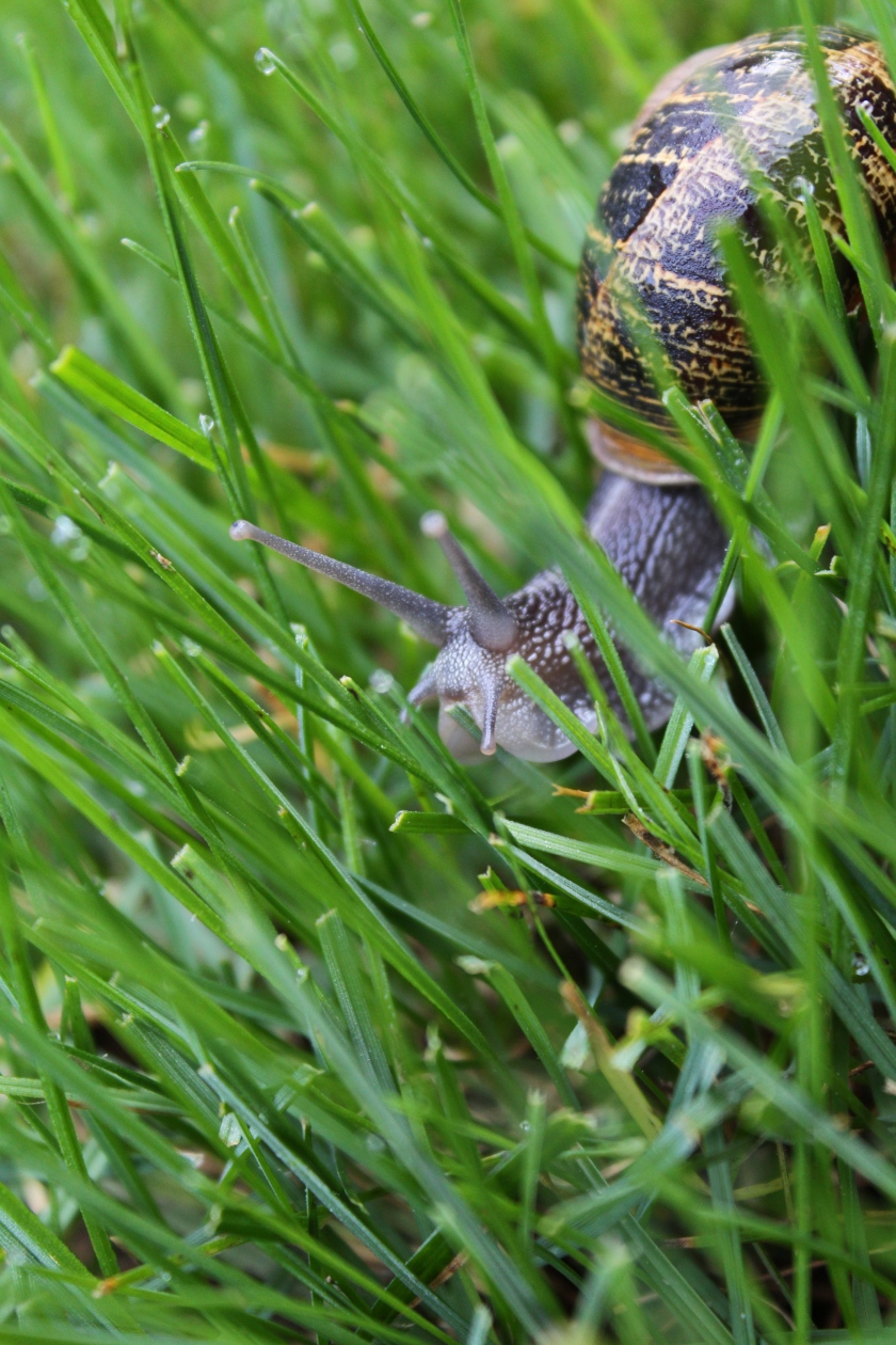 Snail in the grass